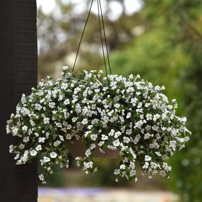 Bacopa White Hanging Basket